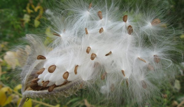 Can Milkweed Replace Down in Our Outdoor Gear?