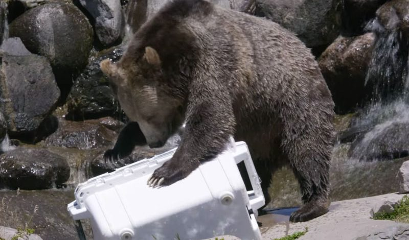 Watch Grizzlies Attack Pelican Cooler Full of Salmon